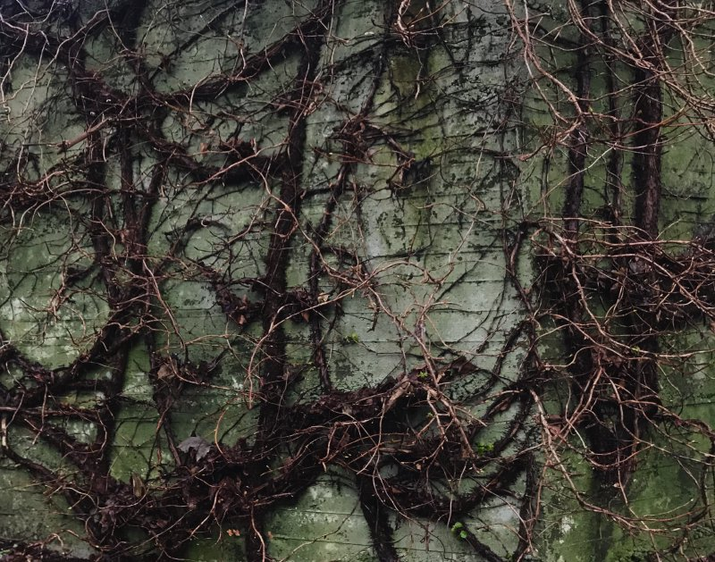 Large, wild vines covering a wall.