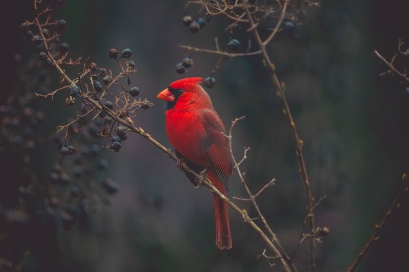 A red cardinal bird sitting in a tree.